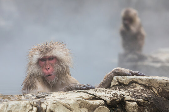 Portrait of Japanese macaque sitting in hot spring by rock
