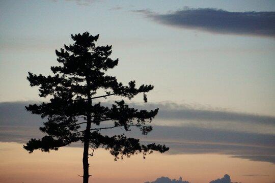 一本の松の木のシルエット、宮城県名取市/A lone pine tree survived the tsunami after disaster