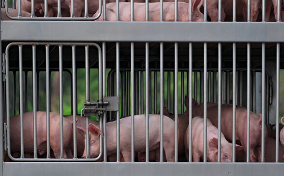 Pigs in truck transport from farm to slaughterhouse. African swine fever (ASF) and swine flu concept. Swine flu (H1N1 virus) carrier. Meat industry. Animal meat market. Pig in metal fence on truck.