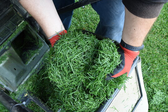 Mulching after lawn mowing fresh hay in man hand
