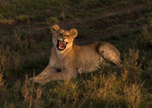 Lioness (panthera leo) cub roaring, Laikipia county, Mt kenya national park, Kenya
