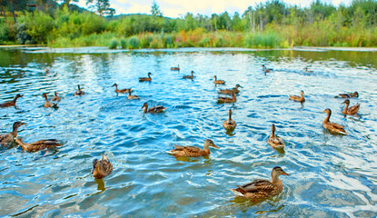 There is a large flock of wild ducks swimming in the swamp. Object of seasonal hunting for waterfowl.
