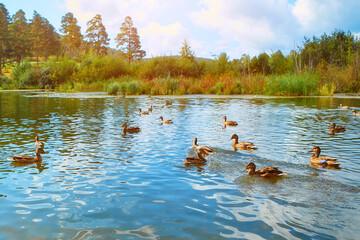 Many wild ducks swim in the natural reservoir. wild birds flock together in autumn. Park with wild ducks in autumn.