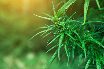 The wild female hemp Cannabis sativa plant medical cannabis in nature with blur background. Wild cannabis bud or fruit or enclosed in hairy bract. Close-up.