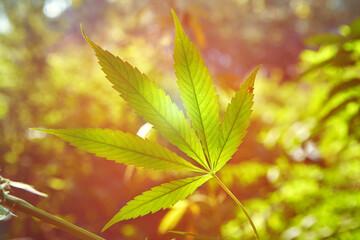 Stem of wild cannabis cannabis marijuana in the natural environment