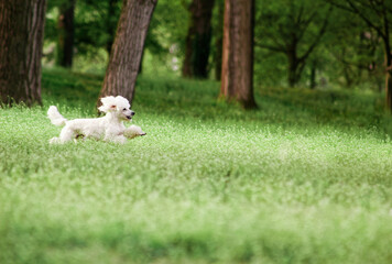 White poodle dog running in field park
