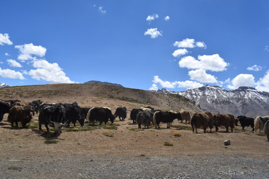 mountain landscape with blue sky and himalayan yaks