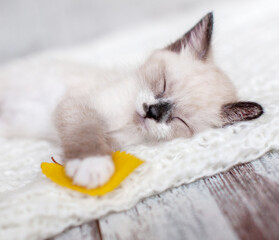 Kitten sleep on knitted plaid