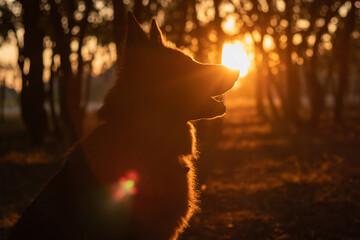 Foto auf Leinwand Braun Dog silhouette at beautiful golden sunset.