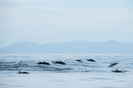 A group of common dolphins jumping near Espíritu Santo Island.