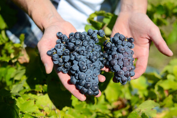 closeup hands of a man showing ripe grapes during wine harvest in vineyard