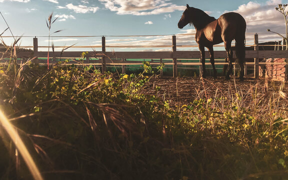 brown horse on farm looking at horizon with sunset