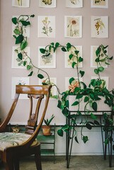 Climbing plant behind chair in bright sunny room in the morning