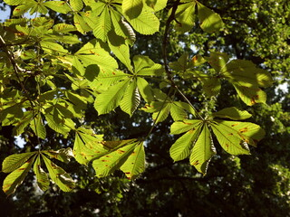 Group of horse chestnut leaves flooded with light in front of blurred green background, with the first slight signs of autumnal wilting. Opposite leaves  are divided into a petiole and a leaf blade