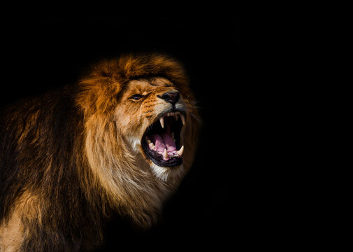 Portrait of a Beautiful lion, furious lion in dark