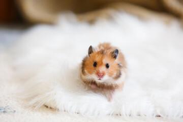 Photo sur Plexiglas Fleur Curious funny hamster at home