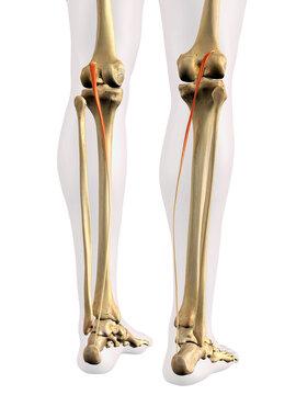 Posterior Plantaris Muscles in Isolation on Human Leg Skeleton, 3D Rendering