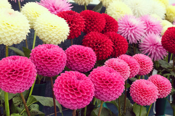 Colourful pompon dahlia flowers on display