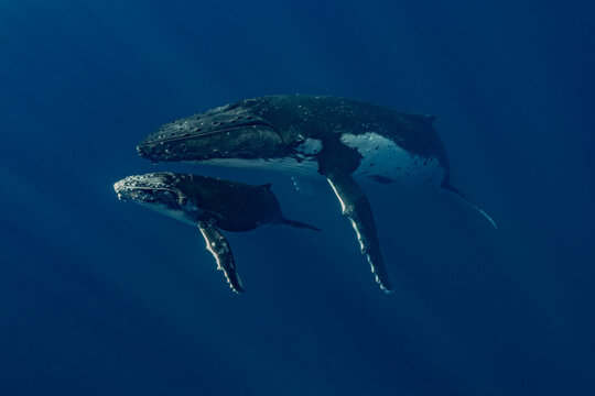 Humpback whale mom and calf under surface