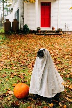 dog looking like a ghost on halloween