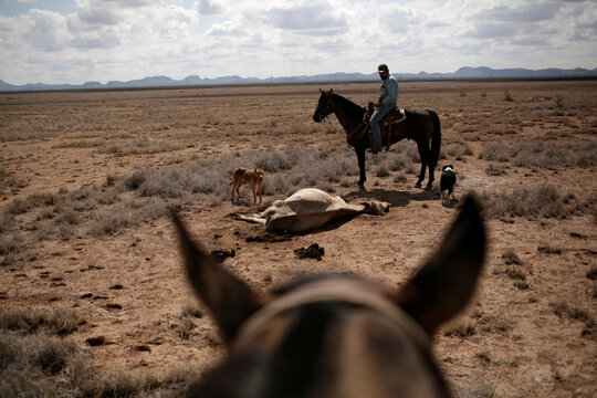 A farmer observes a cow carcass on the Santa Barbara ranch in a drought-stricken area near Camargo