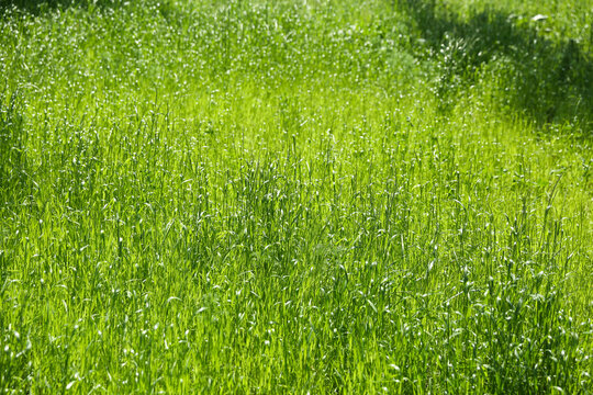 background of green grass in summer