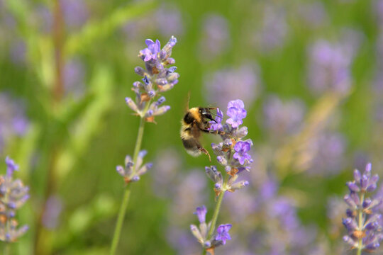 Wild bee in a field of lavender