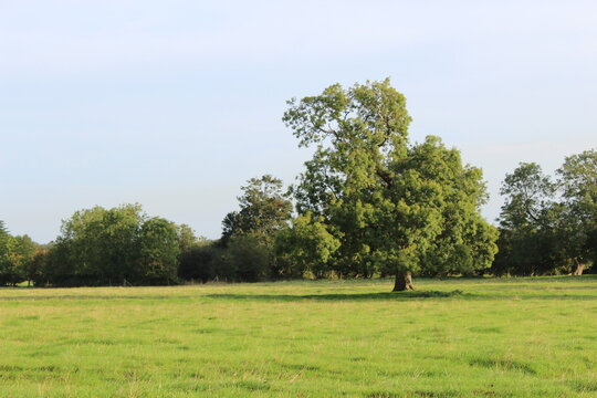 A tree in a grassy field with a row of trees in the background.