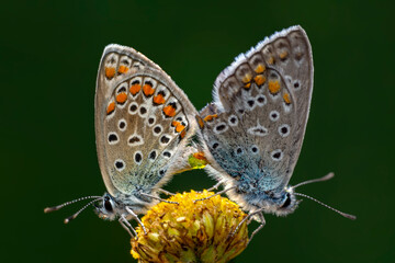 Two butterfly mating. Beautiful butterfly