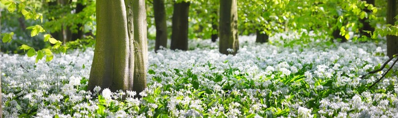 Green forest and white blooming wild garlic (Allium ursinum) in Stochemhoeve, Leiden, the Netherlands. Picturesque panoramic spring landscape. Travel destinations, eco tourism, ecology, pure nature