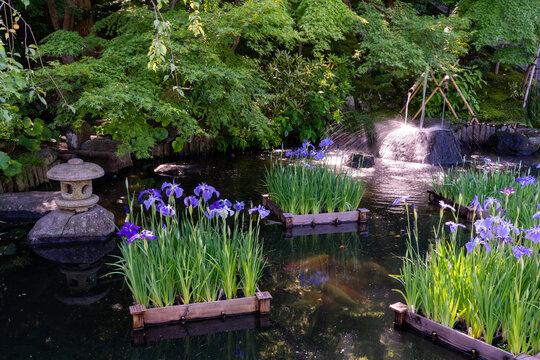 鎌倉 長谷寺の庭園と花菖蒲