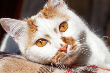 White and Red cat with orange eyes close up