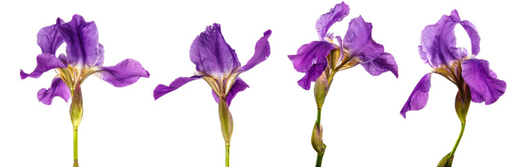 blooming purple iris flower on a white background. set, collection