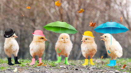 Funny chickens in boots and under umbrellas.