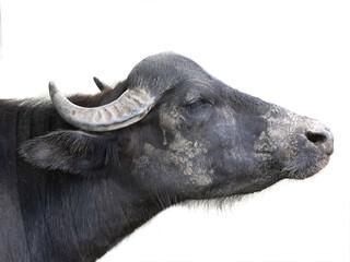 Buffalo portrait isolated on white background.