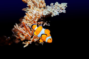 Bright orange coral fish, with three white stripes. Clown Ocellaris, Amphiprion ocellaris, marine aquarium fish, isolated on black background with part of a coral reef.
