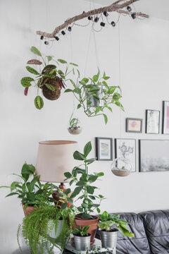 Kokedama and plants in terrarium, interior plant divider of space, hanging maranta, musa tropicana in living room