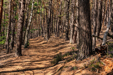 Beautiful needle-lined hiking trail in a green deciduous forest