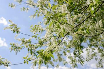 bird cherry flowering against blue sky