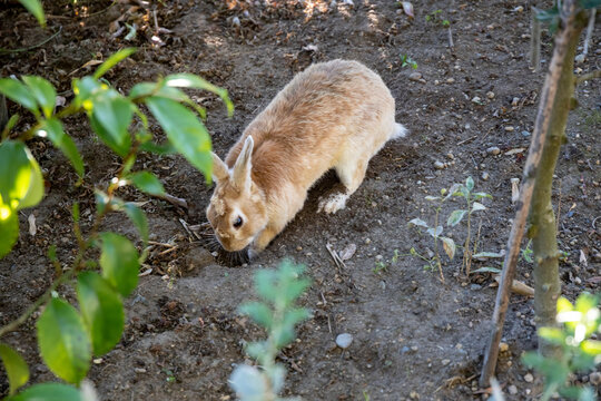 Bunny digging in a front yard, Seattle Washington.