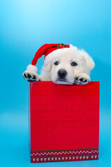 christmas cute puppy on isolated b ackground