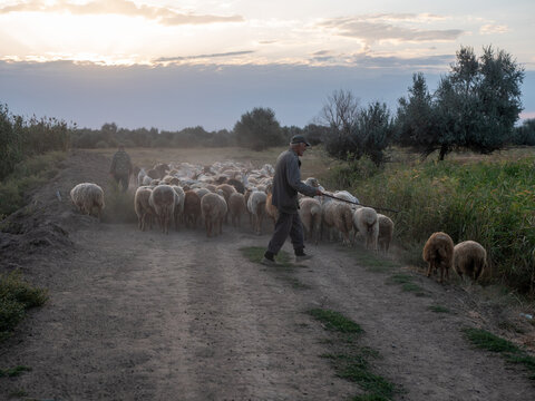 elderly rural shepherd herds sheep, goats and rams into the pasture. Sunrise light. Backlight in dust and fog