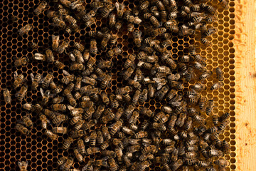 Close up on swarm honey bee on golden comb beehive
