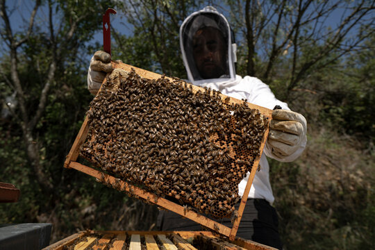Wide angle, Beekeeper looking at honeycomb in frame