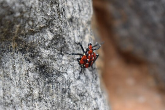 Red Spotted Lanternfly