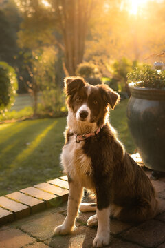 Border Collie pup bathed in golden sunlight