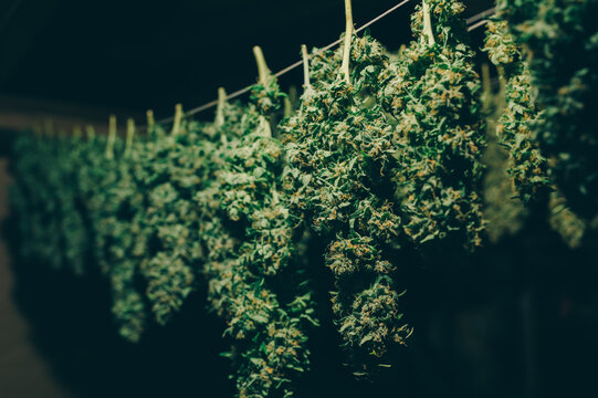 Cannabis buds hung to dry