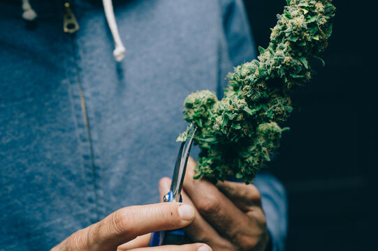 Anonymous Man Clipping Mature Cannabis Buds