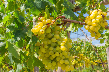 Bunches of ripe white grapes