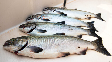 Four fresh caught Coho Salmon laying in a row on a boat